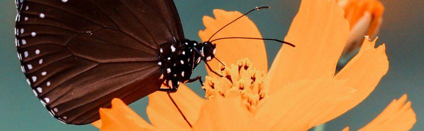 Afbeelding van een bruine vlinder op een oranje bloem