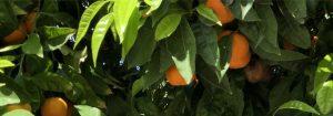 Closeup van een sinaasappelboom