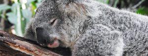 Een slapende koala op een tak
